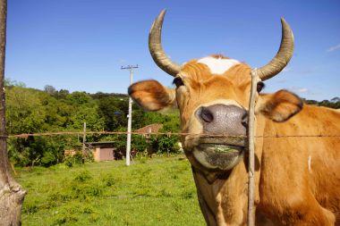 DSC07131 stier of koe bij marcus id buurt