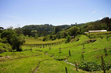 DSC07140 groene wijngaard