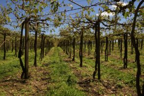 DSC07146 druivenbomen kapot