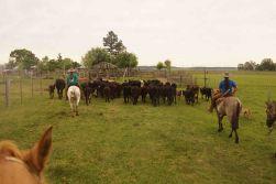 DSC07275 koeien drijven