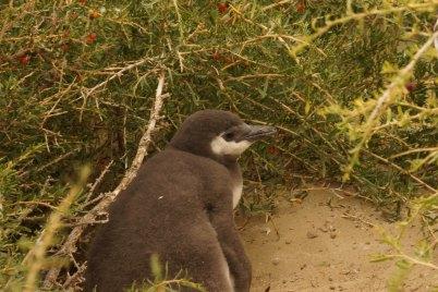 00006 monte leon jonge schattige pinguin