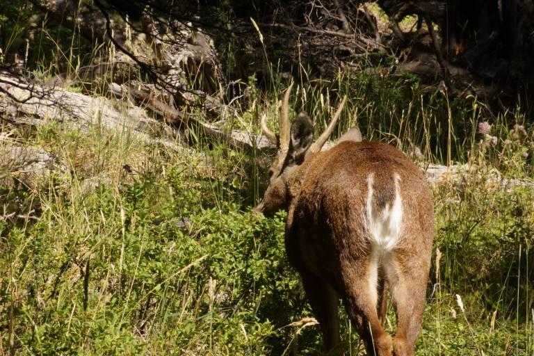 00007 deer