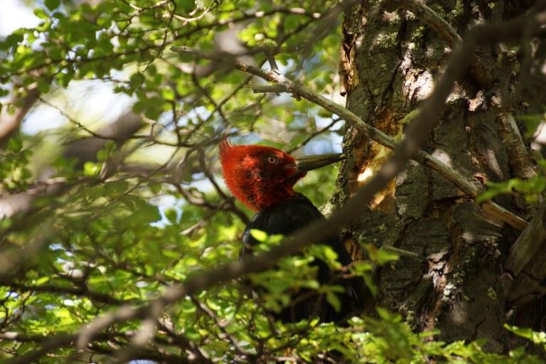 00037 woodpecker