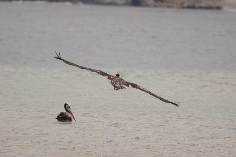 00021 pelikaanvliegen2