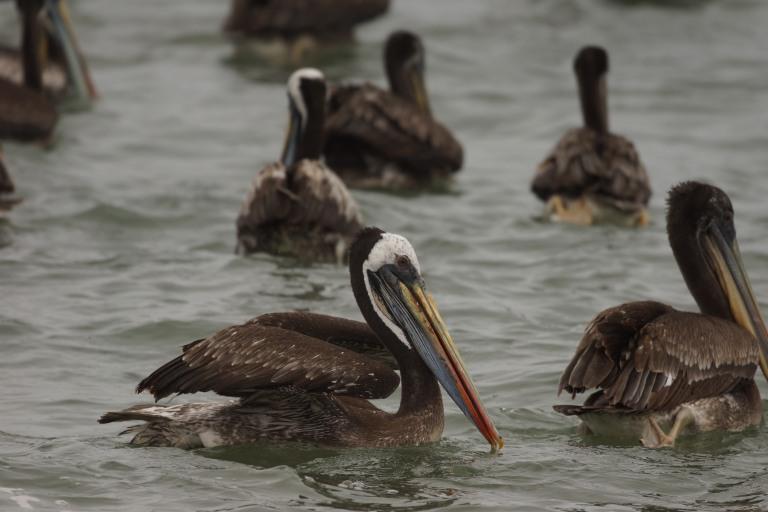 onderaan00023 pelikaan closup