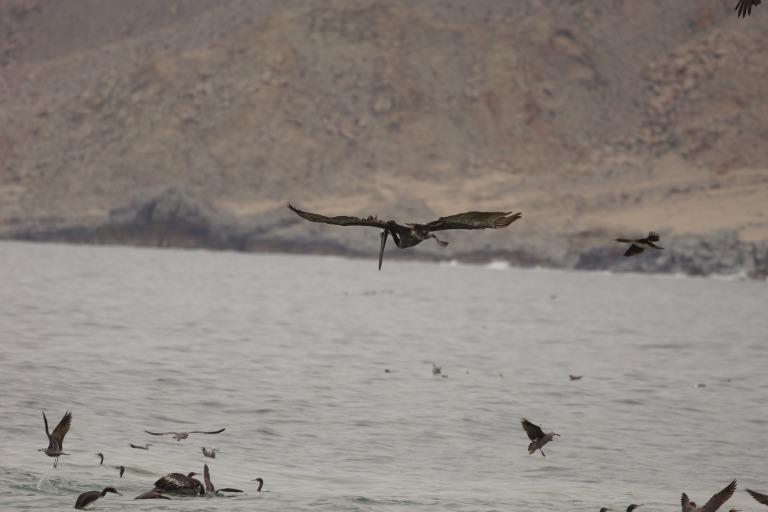onderaan00024 pelikaan op jacht