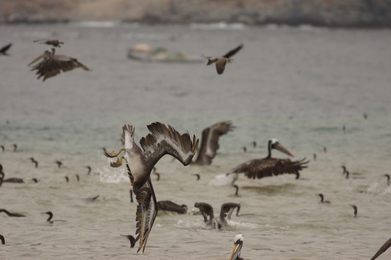 onderaan00025 pelikaanduikvlucht