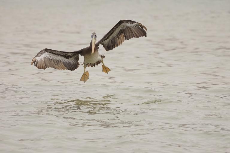 onderaan00028 pelikaanlanden