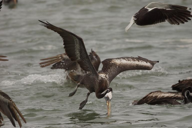 onderaan00029 pelikaansnavelwater