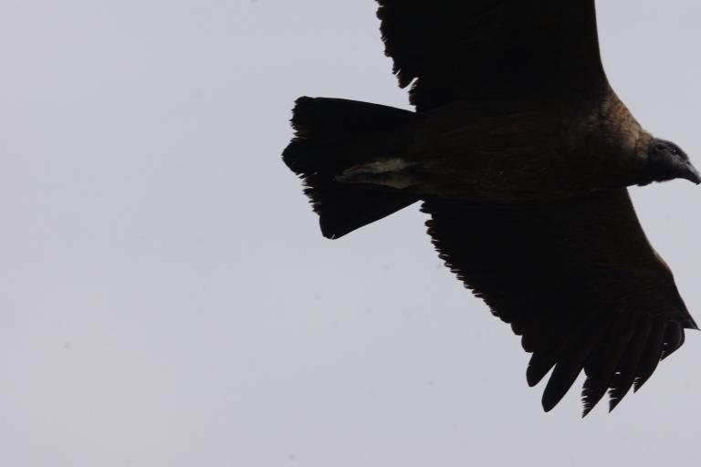 00025 condor onderaanzicht2 jong