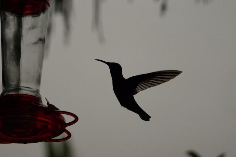 kolibriesilhouet
