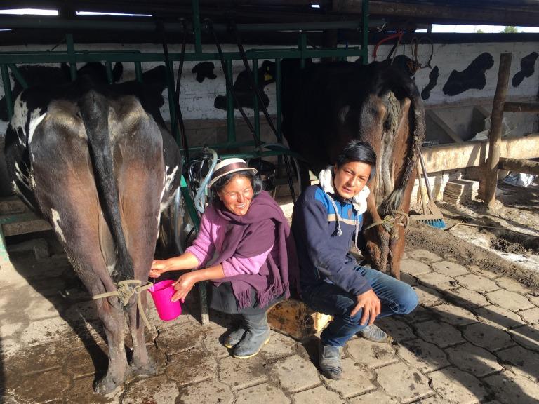 00026 koeien