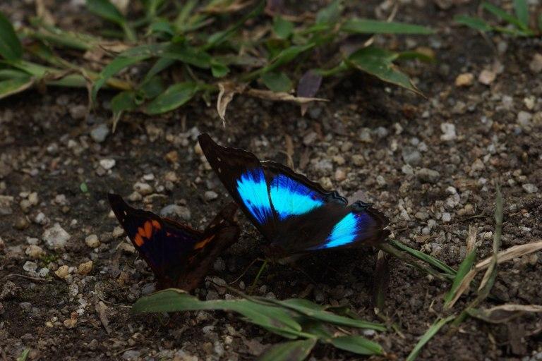 compivlinderblauw