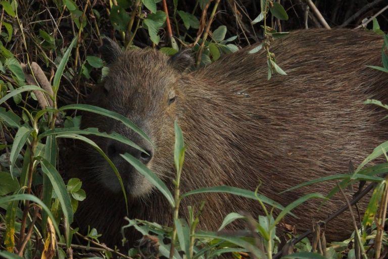 00003 capibara