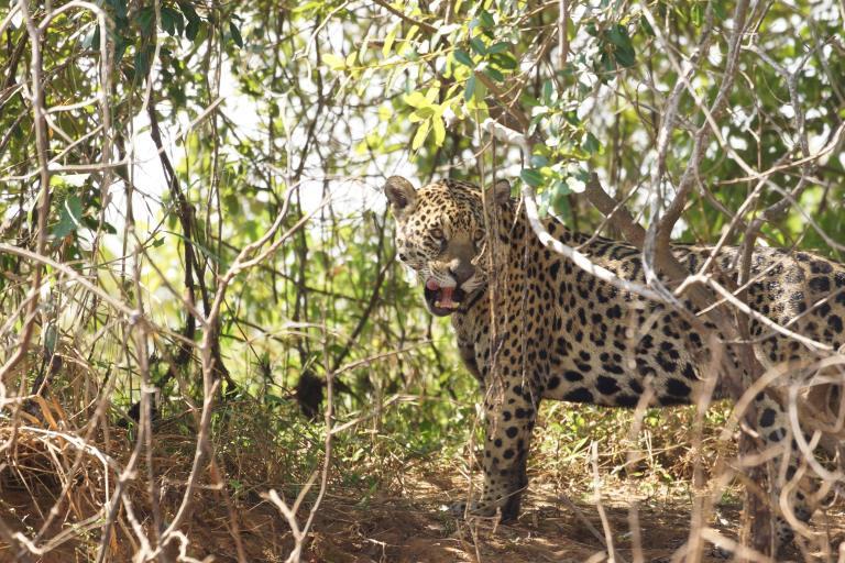 00008 00114 jaguar6