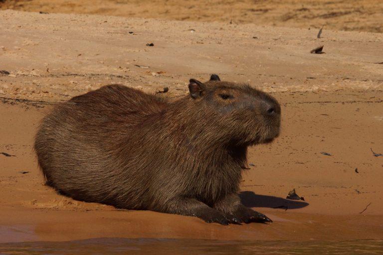00103 capibara2