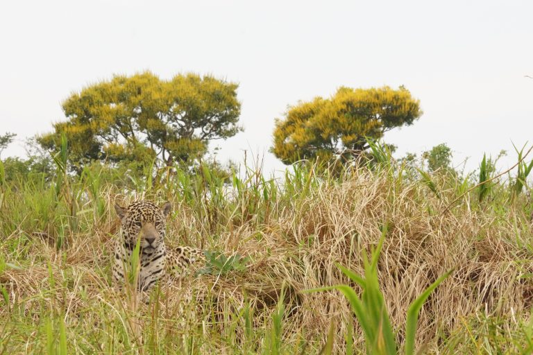 00151 jaguar2