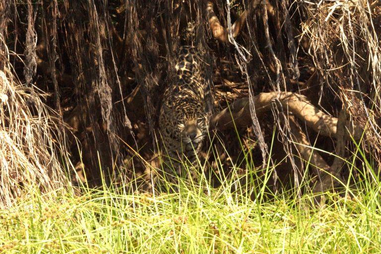 00156 jaguarbosjes