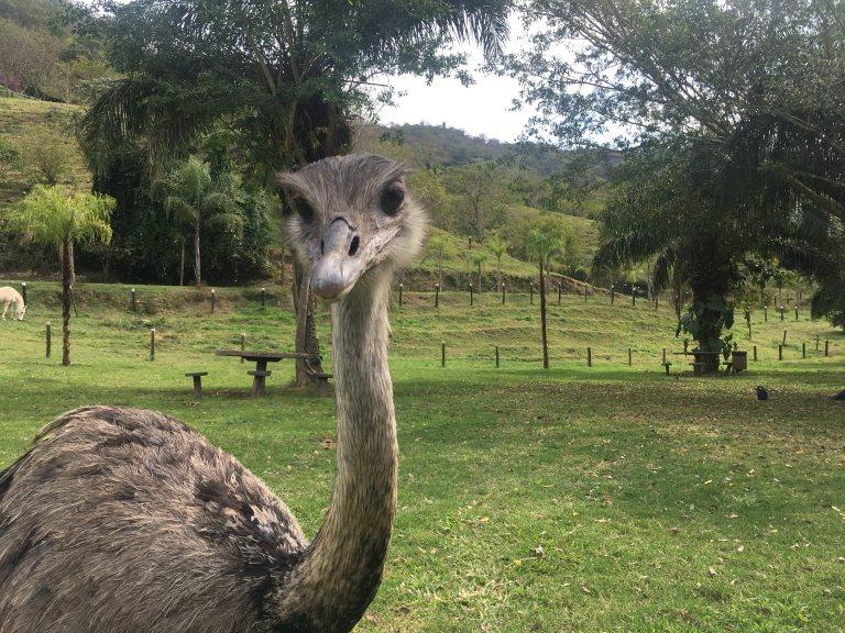 00188 struisvogel