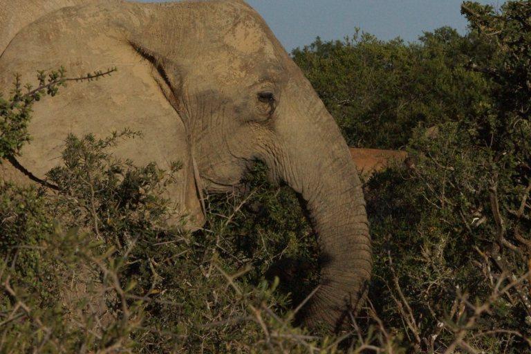 olifanteet