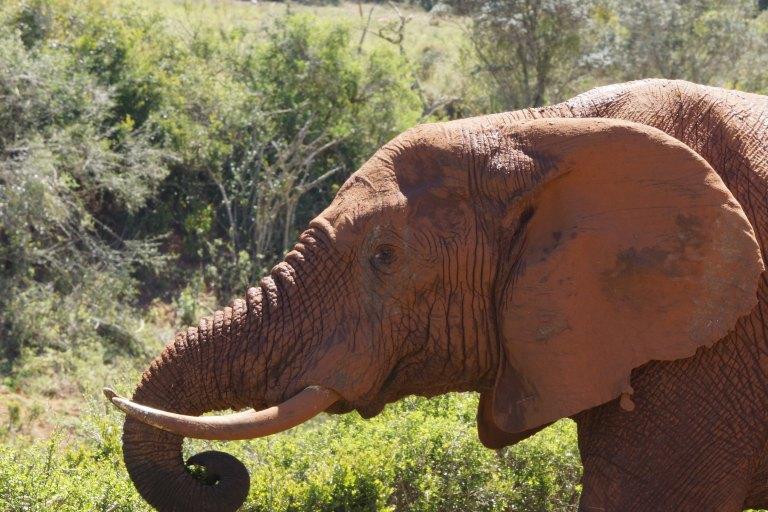 olifantrood