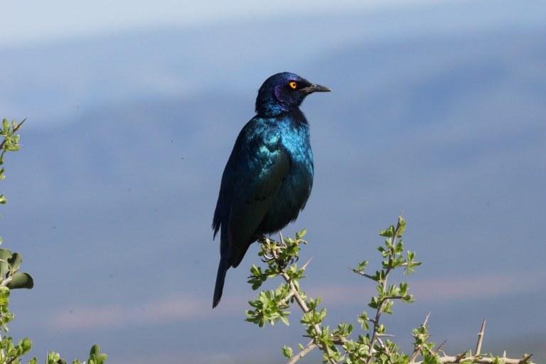 vogeltjeblauw