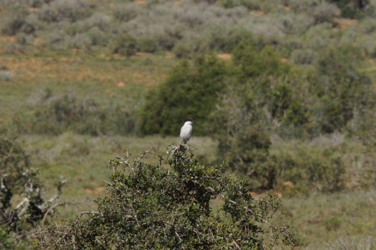 vogelwitzwart