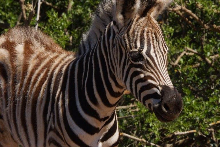 zebramini