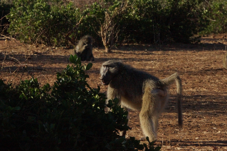 00001 baboon