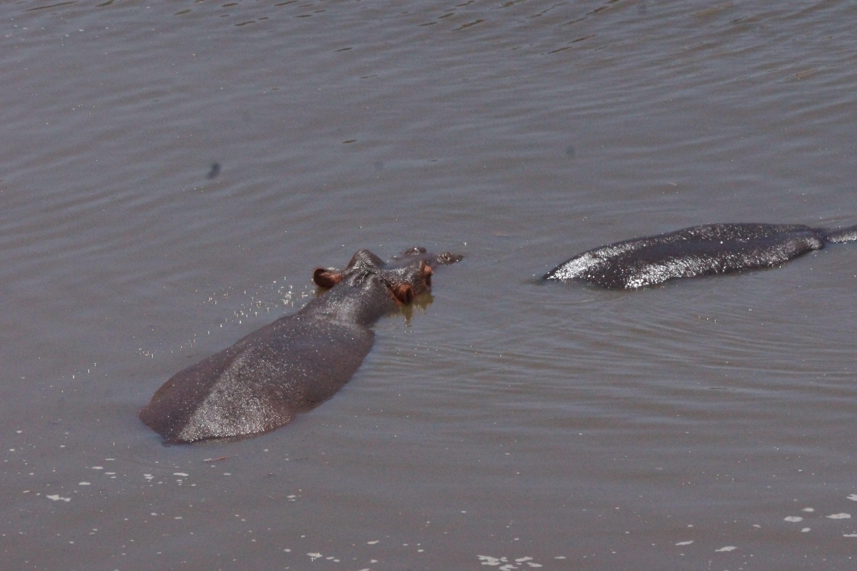 00012 nijlpaard