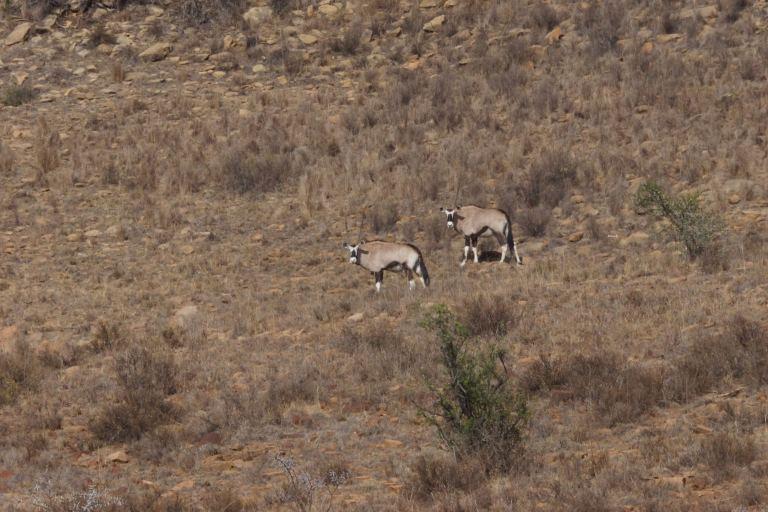 001 antilope mountain zebra