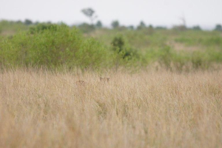 008 cheeta