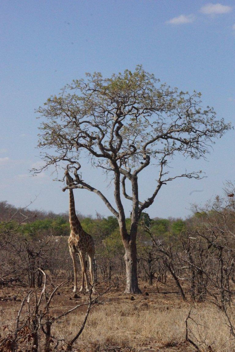 013 girafeten