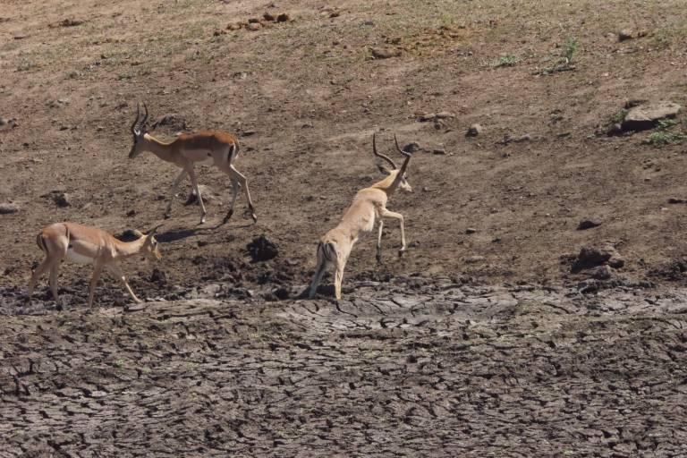 019 impalaspring