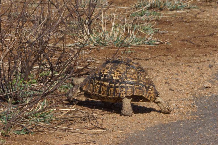 038 schildpad