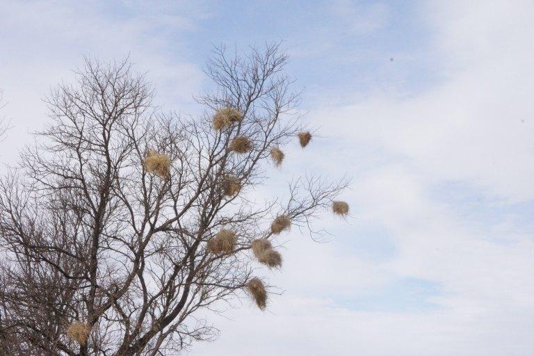 045 vogelnestjesboom