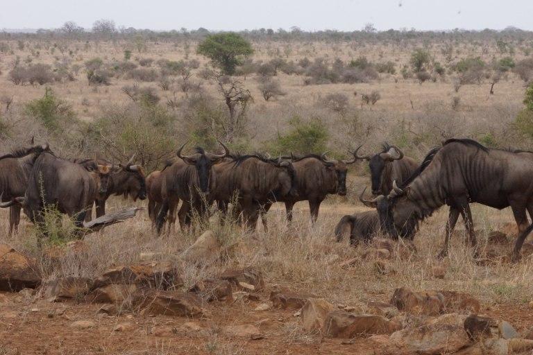 061 wildebeesten