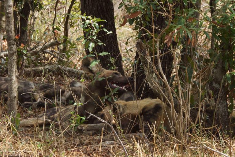 062 wildehonden